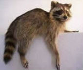 coon taxidermy 1
