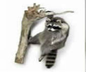 coon taxidermy 10