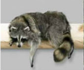 coon taxidermy 13