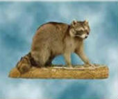 coon taxidermy 2