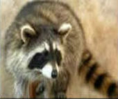 coon taxidermy 3