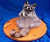 coon taxidermy 4