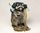 coon taxidermy 7
