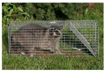 A Trapped Coon